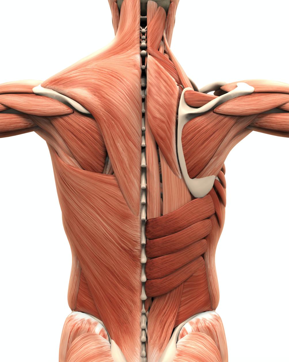 anatomía-masaje-tradiconal